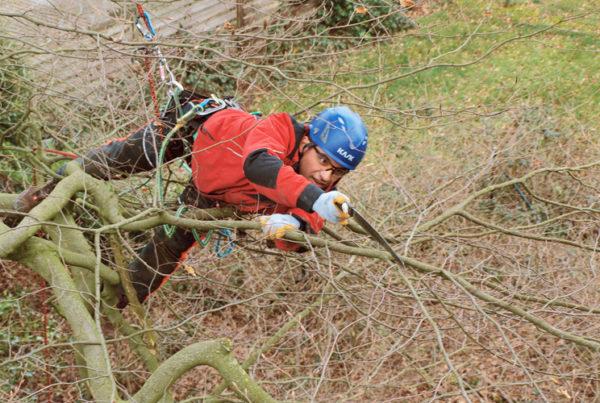 Klettertechnik Baumpflege Baumschnitt Sequoia